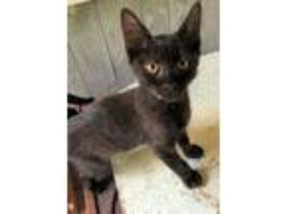 Adopt Freedom a Domestic Short Hair
