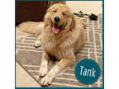 Adopt Tank a Tan/Yellow/Fawn Golden Retriever / Great Pyrenees dog in Palatine