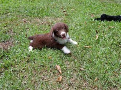 Aussiedoodle PUPPY FOR SALE ADN-82786 - CKC Registered AussieDoodles
