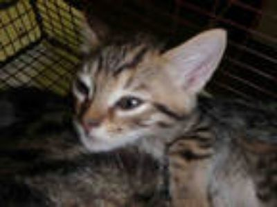 Adopt CHERIE a Brown Tabby Domestic Shorthair / Mixed (short coat) cat in Los