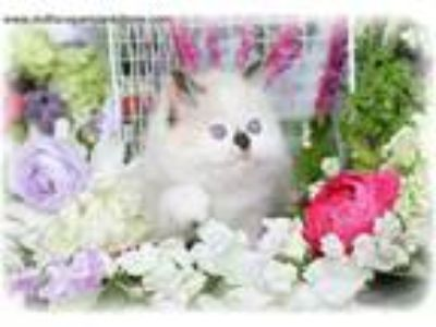 Beautiful Persian Kitten Available