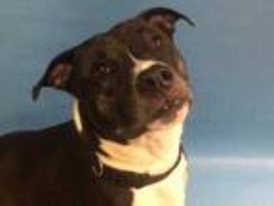 Adopt Chuck a Black American Pit Bull Terrier / Border Collie / Mixed dog in St.