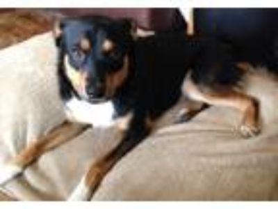 Adopt Bitsy a Black - with Tan, Yellow or Fawn Miniature Pinscher / Fox Terrier