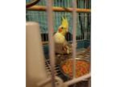 Adopt Hunter a Gray Cockatiel bird in Aurora, IL (25634908)