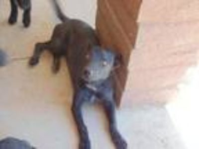 Adopt Jazzie a Black Flat-Coated Retriever / Australian Shepherd / Mixed dog in