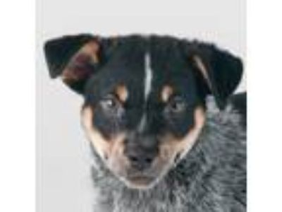 Adopt Scooby a Gray/Blue/Silver/Salt & Pepper Australian Cattle Dog / Mixed dog