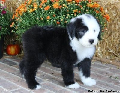 Old English Sheepdog Pups For Sale.