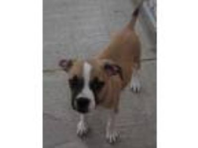 Adopt Sophie a Tan/Yellow/Fawn American Pit Bull Terrier / Mixed dog in