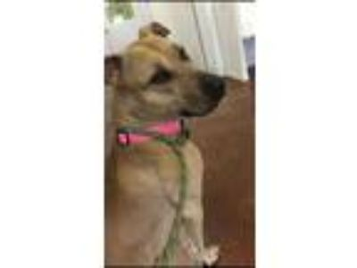 Adopt Luna a Tan/Yellow/Fawn American Hairless Terrier / Mixed dog in