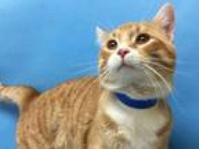Adopt Sir Meows A Lot a Orange or Red Domestic Shorthair / Domestic Shorthair /