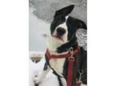 Adopt *COURTESY*Spike a Bull Terrier, American Staffordshire Terrier