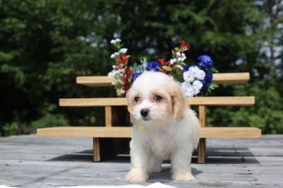 Cavachon PUPPY FOR SALE ADN-87566 - Cavachon  Puppy
