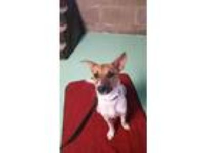 Adopt Beans a Brown/Chocolate Fox Terrier (Smooth) / Mixed dog in Watertown