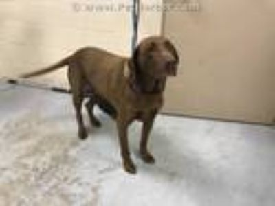 Adopt TOBY a Brown/Chocolate Labrador Retriever / Mixed dog in Conroe