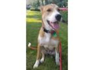 Adopt Clover Adams a White - with Brown or Chocolate Collie / Labrador Retriever