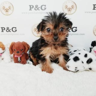 Yorkshire Terrier PUPPY FOR SALE ADN-105555 - YORKSHIRE TERRIER FREDDIE MALE