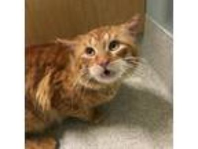 Adopt Cosmo a Domestic Long Hair, Domestic Short Hair