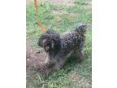 Adopt Marcus - Local June 29 30 a Poodle