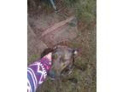Adopt Holly a Brindle Labrador Retriever / German Shepherd Dog / Mixed dog in
