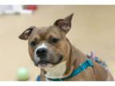 Adopt Waffles a Tricolor (Tan/Brown & Black & White) American Staffordshire