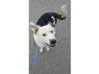 Adopt Dutch a Border Collie, German Shepherd Dog