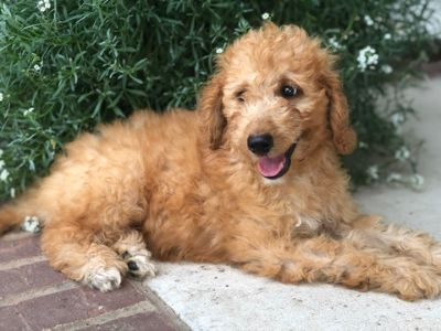 Poodle (Standard) PUPPY FOR SALE ADN-93591 - Red and White Standard Poodles