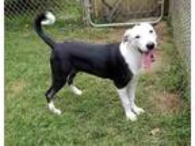 Adopt Dot a Pit Bull Terrier / Mixed dog in Rossville, TN (22959233)