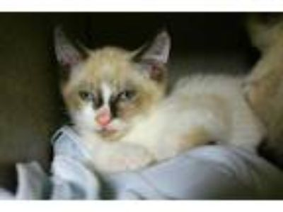 Adopt a Brown or Chocolate Snowshoe / Mixed (short coat) cat in Louisville