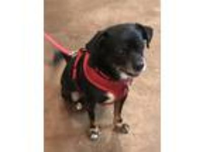 Adopt Sunny a Tricolor (Tan/Brown & Black & White) Pug / Beagle / Mixed dog in