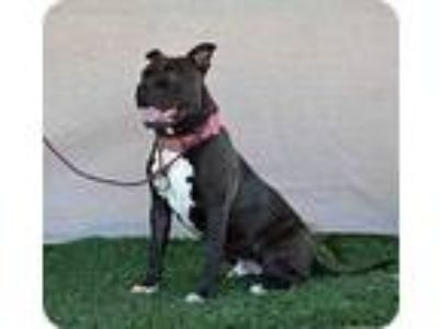 Adopt Monkey a Black Mastiff / American Pit Bull Terrier / Mixed dog in Sherman