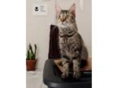 Adopt Nancy a Gray, Blue or Silver Tabby Domestic Shorthair / Mixed cat in