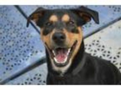 Adopt Odin a Black - with Tan, Yellow or Fawn Doberman Pinscher / Mixed dog in