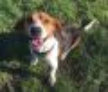 Tucker Beagle Dog