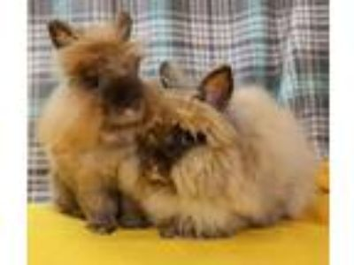 Adopt Cocoa and Mocha a Tan Other/Unknown / Mixed rabbit in Fountain Valley