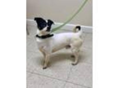 Adopt Bobby a Jack Russell Terrier / Pug / Mixed dog in Fall River