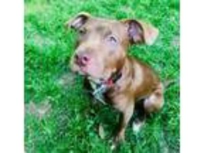 Adopt PUPPY - Bullwinkle a Pit Bull Terrier