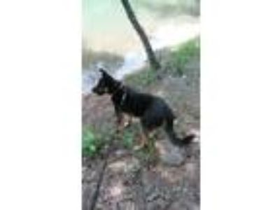 Adopt Tipper a Black - with Tan, Yellow or Fawn German Shepherd Dog / Doberman