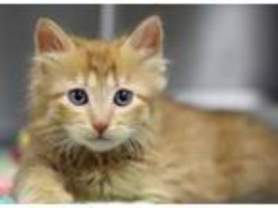 Adopt Gary a Domestic Long Hair, Domestic Short Hair