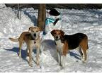 Adopt Alessa a Tan/Yellow/Fawn Labrador Retriever / Greyhound / Mixed dog in