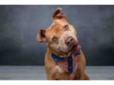 Adopt POLLY a Tan/Yellow/Fawn American Staffordshire Terrier / Mixed dog in West