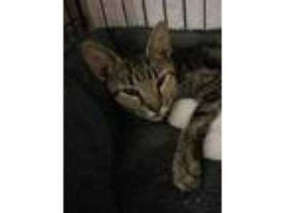 Adopt Paisley Scotland a Brown or Chocolate (Mostly) Domestic Shorthair cat in