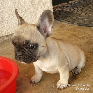 French Bulldog PUPPY FOR SALE ADN-70006 - AKC Frenchies
