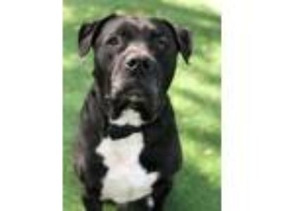Adopt NICO a Black - with White Labrador Retriever / Mastiff / Mixed dog in