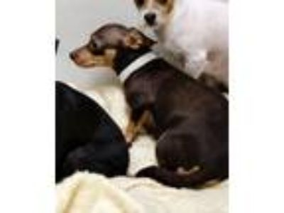 Adopt Belle - Claremont a Black - with Tan, Yellow or Fawn Dachshund / Terrier
