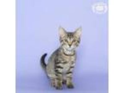 Adopt Winky a Domestic Short Hair