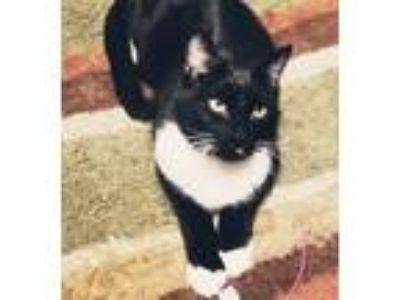 Adopt Newton a American Shorthair / Mixed (short coat) cat in Little Rock