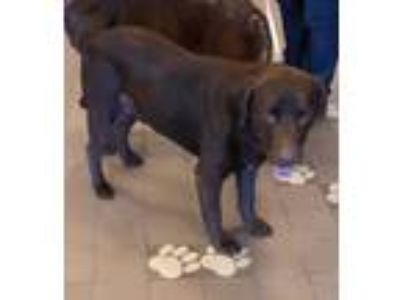 Adopt 41909064 a Brown/Chocolate Labrador Retriever / Mixed dog in Mesquite