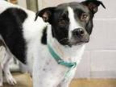 Adopt Lulu a Black Australian Cattle Dog / American Pit Bull Terrier / Mixed dog