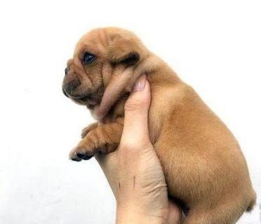French Bulldog PUPPY FOR SALE ADN-101576 - Golden Cream French Bulldog for NY LA SF SD SEA