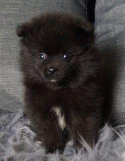 Pomeranian PUPPY FOR SALE ADN-89892 - Adorable AKC Pomeranian Puppies Ready to go